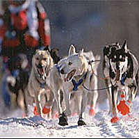 Huskies along the trail during start day, March 1998