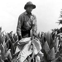 Young African-American man cutting tobacco, 1940