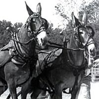 Lightweight team mule pulling contest, September 1994