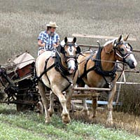 Draft horses pulling a reaper at the Southeast Old Thresher's Reunion, July 1, 1999
