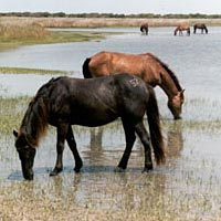 Several wild horses along Shackleford banks, July 1999