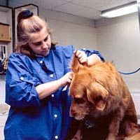 Student trims ears of Golden Retriever in Small Animal Grooming Lab, Spring 1999