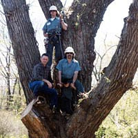 Dr. Kovalski with tree surgeons sitting in the Marlboro Tree after pruning, April 30, 1999