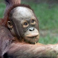Baby orangutan at the Toledo Zoo