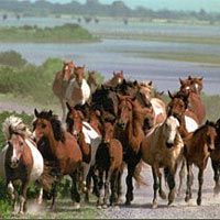 Herd of ponies running on Chincoteague shore