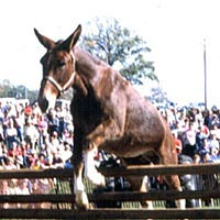 Coon mule jumping contest