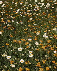 [Field of daisies and orange flowers, possibly hawkweed, Vermont], by John Collier, June 1943