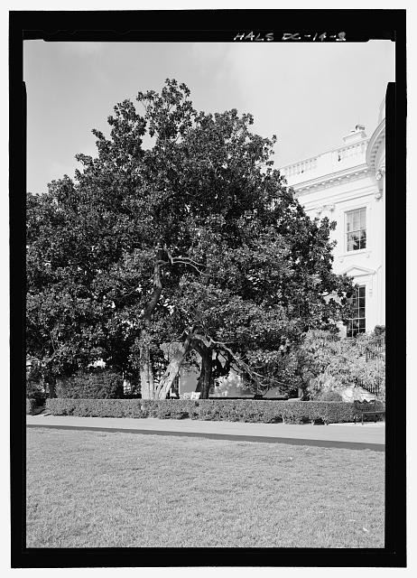 View looking northwest at magnolia located on left side of south facade - Andrew Jackson Southern Magnolia , 1600 Pennsylvania Avenue West of south portico, Washington, District of Columbia, DC