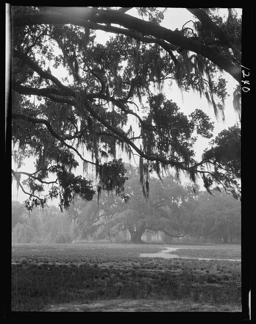 Oak trees, New Orleans