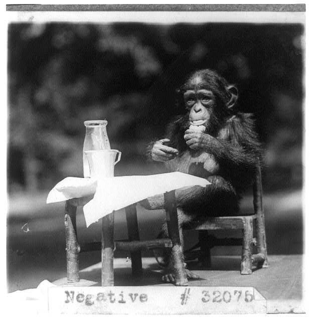 [Chimpanzee seated at table with bottle and glass at the National Zoo, Washington, D.C.]