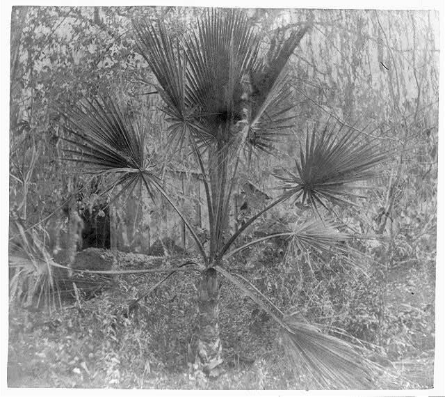The palmetto tree