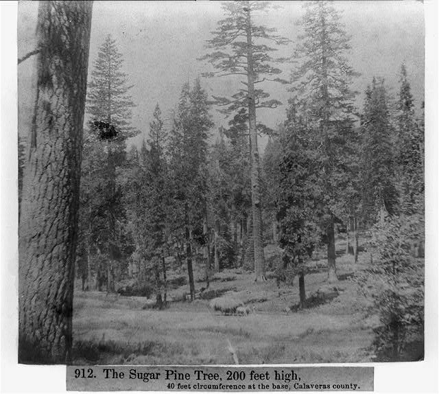 The Sugar Pine Tree, 200 ft. high; 40 ft. circumerence at the base - Calaveras County
