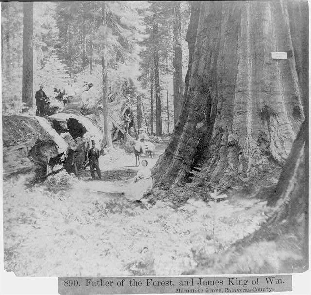 Father of the Forest, and James King of William Mammoth Grove, Calaveras County