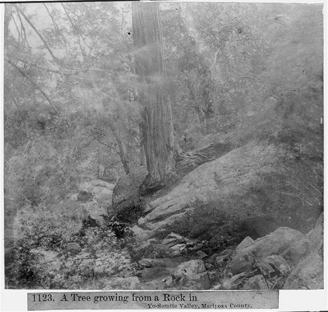 A tree growing from a rock in Yosemite Valley, Mariposa County