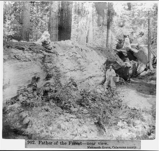 Father of the Forest--near view - Mammoth Grove, Calaveras County