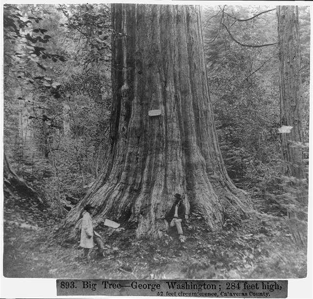 Big Tree--George Washington, 284 feet high, 52 feet circumference - Calaveras County