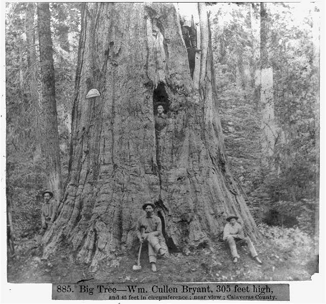 Big Tree--Wm. Cullen Bryant, 305 feet high, 45 feet in circumference - Near View, Calaveras County