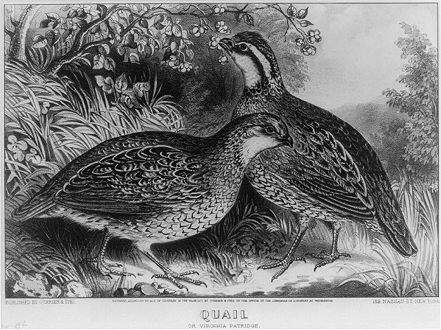 Quail: or Virginia partridge
