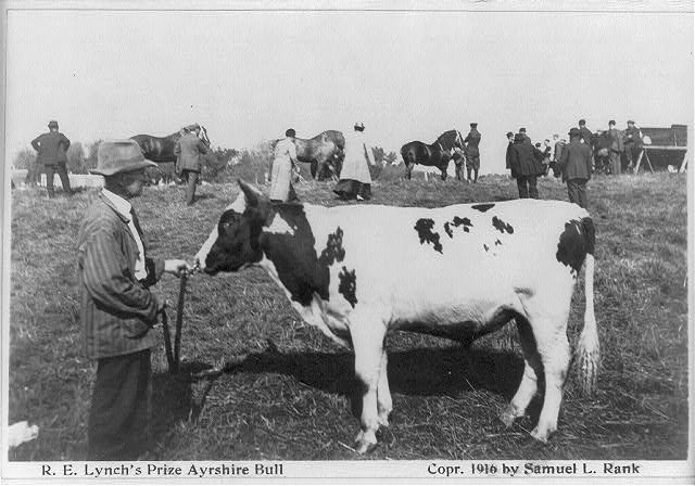 "[Prize winners at Sherburne County fair, Minnesota - ""R.E. Lynche's prize Ayrshire bull""]"