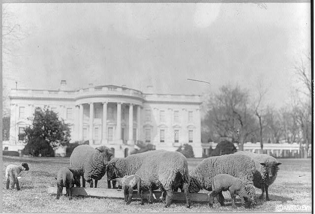 Sheep on the White House lawn