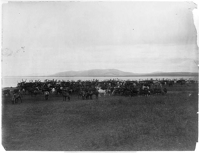 [Nome (and vicinity), Alaska, 1900]: Herd of reindeer