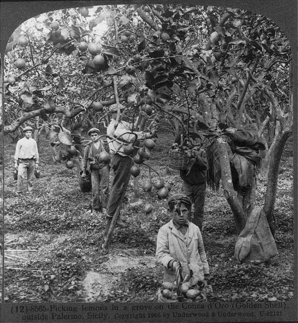 Picking lemons in a grove on the Conca d&#39;Oro (Golden Shell), outside Palermo, Sicily