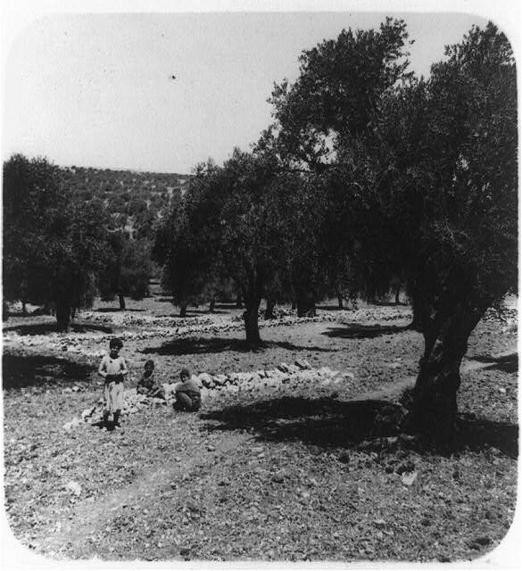 Olive groves near Bethlehem
