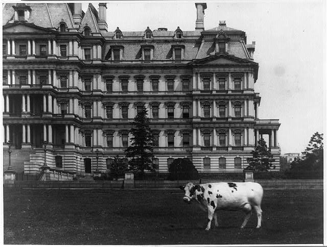[Pauline, pet cow of President Taft on lawn, in front of the State, War and Navy Building, Washington, D.C.]