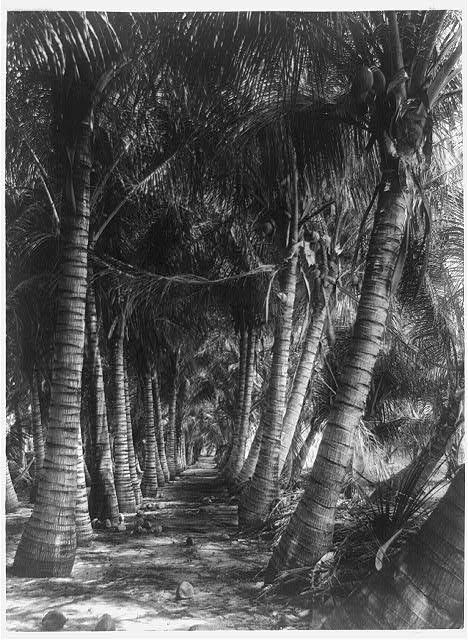 [Avenue of coconut palms, Florida]
