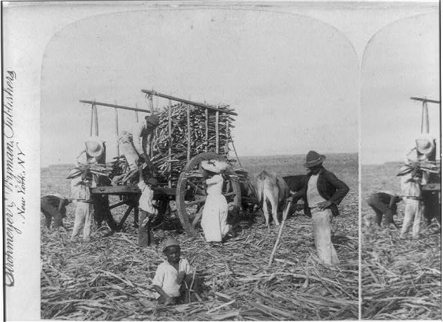 Loading ox-carts with sugar-cane for the Mill, Marianao, Cuba
