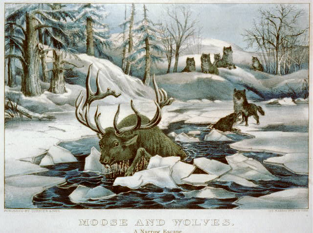 Moose and wolves a narrow escape.