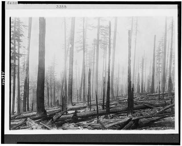 [Oregon National Forest.  Effect of fire on an old burn. Before fire there was a dense cover of green brush. Previous fire was about ten years before]
