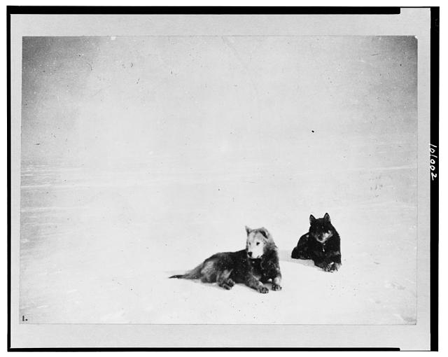 Amundsen's favorite dogs, Fix and Lassesin