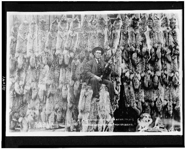 Coyotes caught by Ranger McEntire of Malheur National Forest, Winter 1912 & 1913