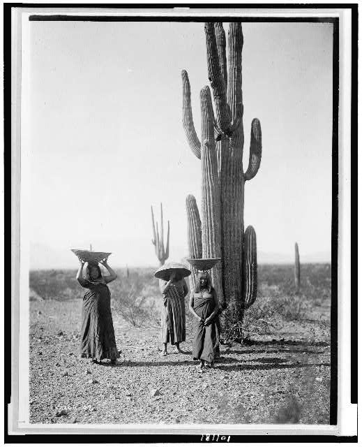 [Maricopa women gathering fruit from Saguaro cacti]