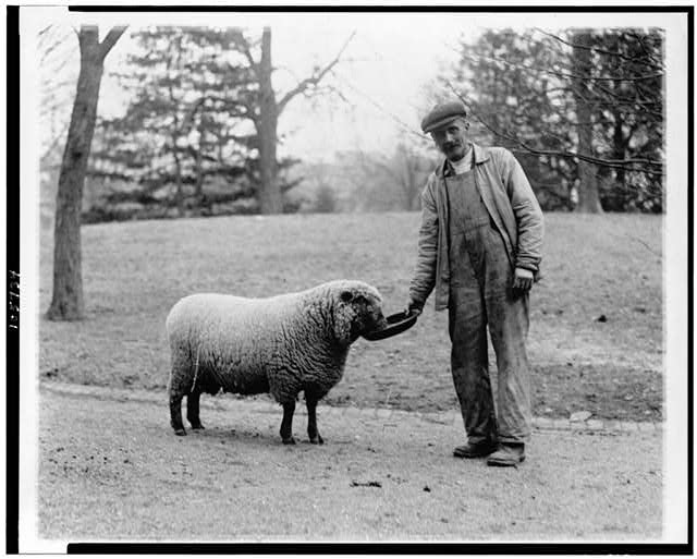 [Man with a White House sheep]