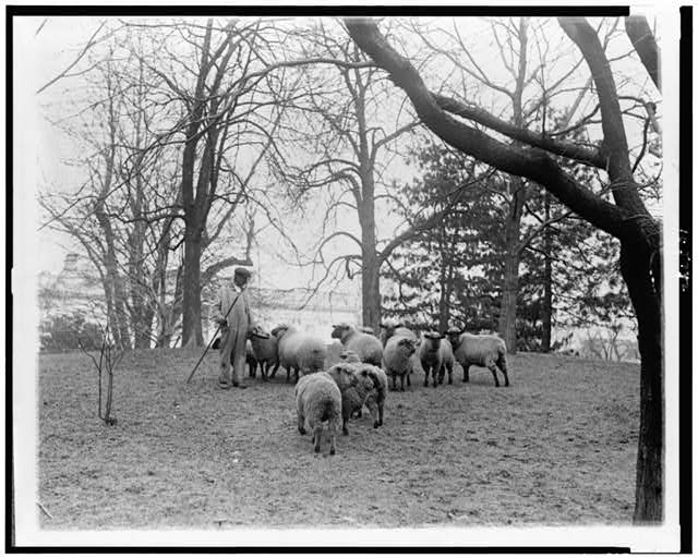 [Man with sheep on White House lawn]