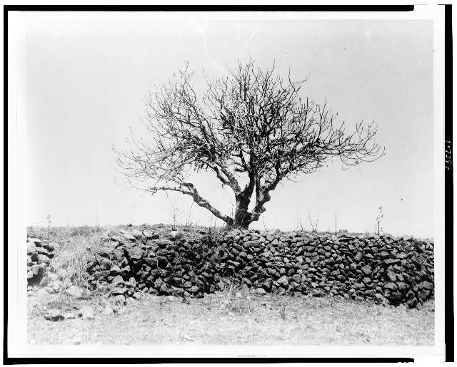[Fig tree after devastation by locusts, Palestine]