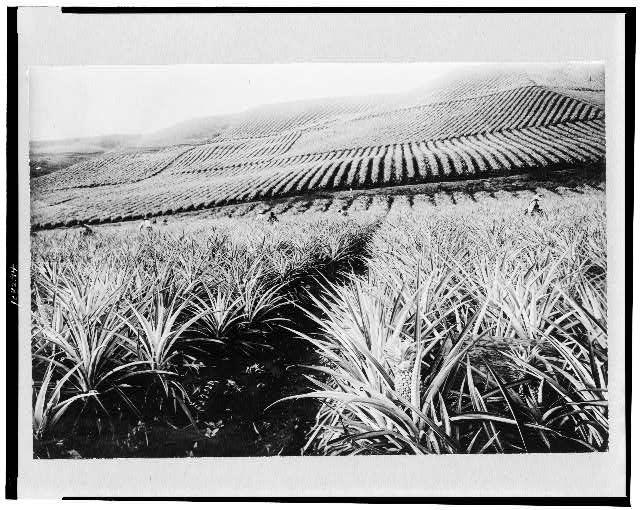 [Pineapple growing, Hawaii]