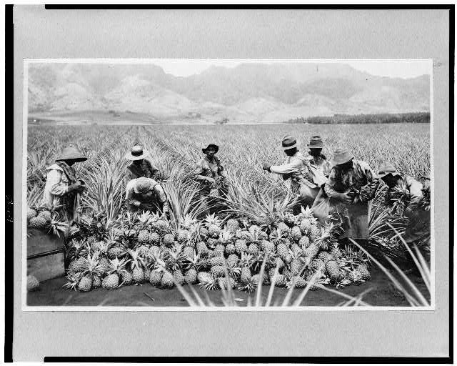 [Scene on a pineapple plantation, with harvested pineapples, Hawaii]