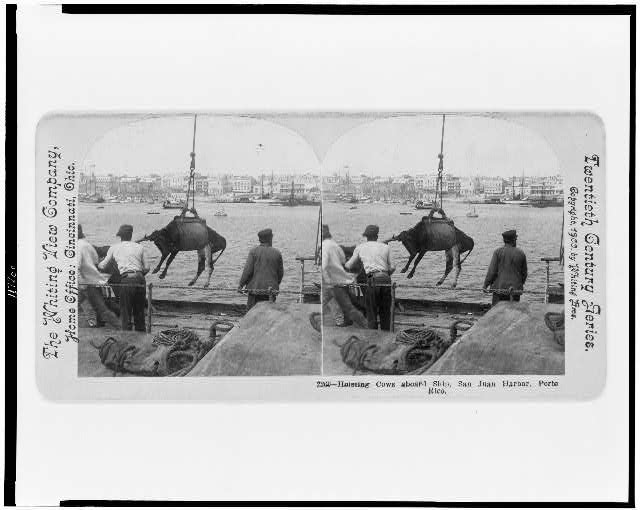 Hoisting cows aboard ship, San Juan Harbor, Porto Rico