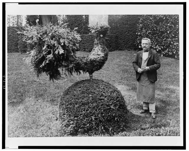 [Gardener standing alongside shrub trimmed into shape of a rooster, in garden at Villa Trianon, France]