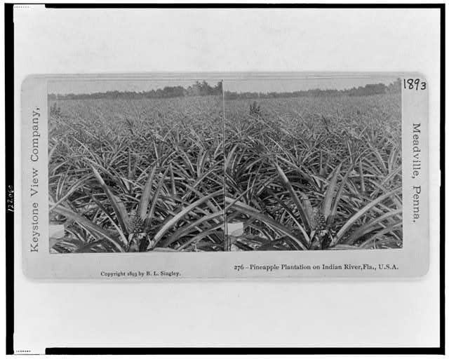 Pineapple Plantation on Indian River, Fla., U.S.A.