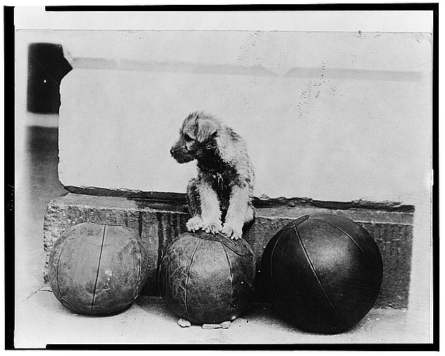 Piney the Schnauzer Pup perched on the famous medicin[e] ball used by the President each morning on the White House lawn