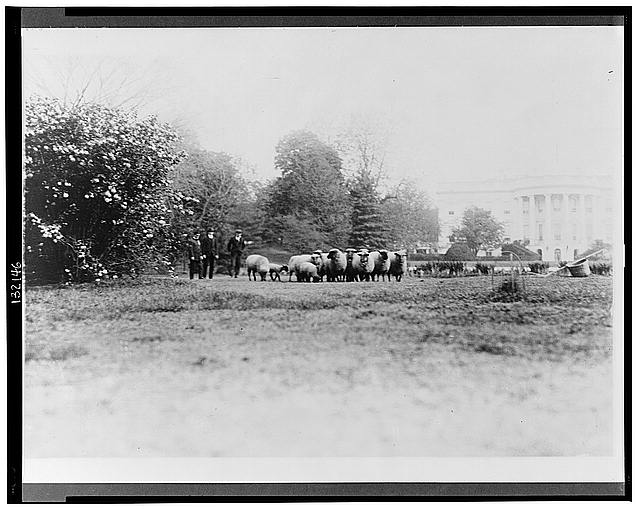[Three men with White House sheep on south lawn]