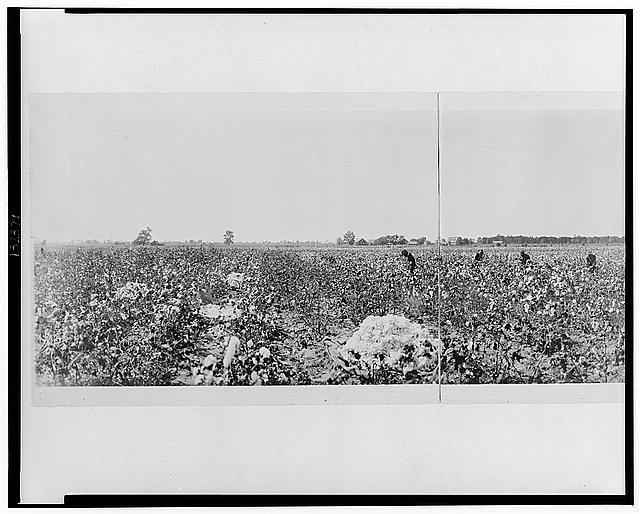 Picking cotton in Georgia