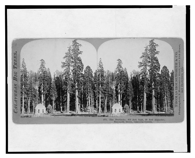 Calaveras big trees. The sentinels, 315 feet high, 23 feet diameter, Mammoth Grove, Calaveras County