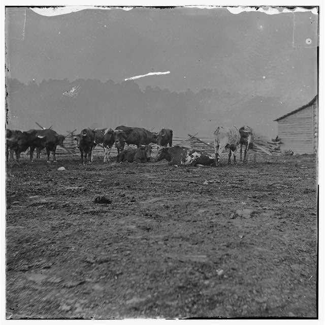 City Point, Virginia. Cattle for the Army of the Potomac