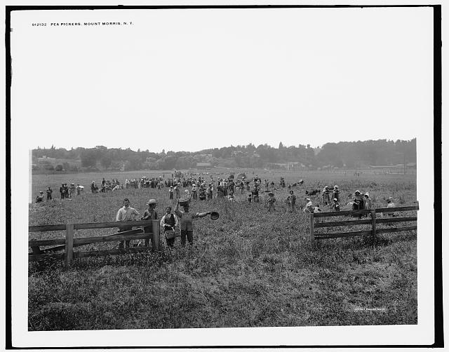 Pea pickers, Mount Morris, N.Y.