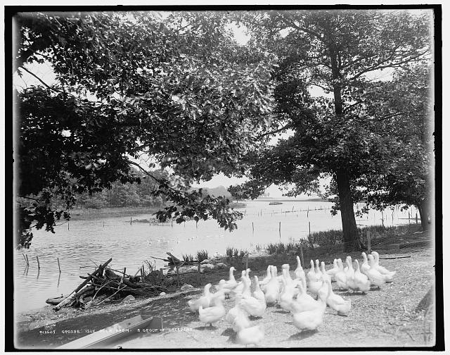 Grosse Isle duck farm, a group of breeders